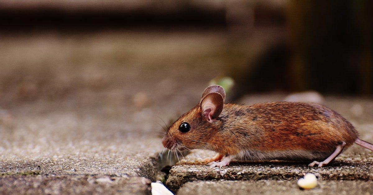 animal-apodemus-sylvaticus-brown-209079-5d4bf89b0bb64