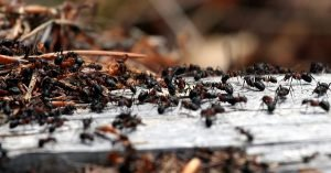 swarming ant colony