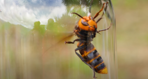 How To Recognize And Identify The Murder Hornet In Washington State