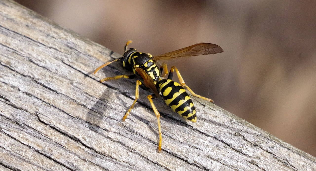Wasp Season Is Coming In The Pacific Northwest