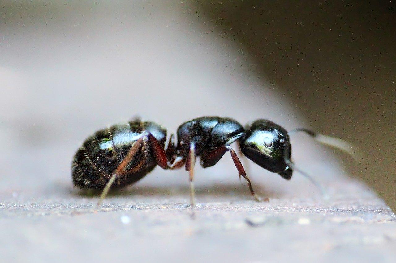Carpenter Ants In The Northwest